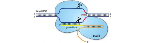 CRISPR/Cas9 system